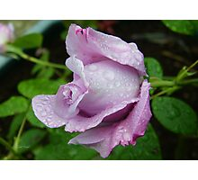 Lilac Rose in the Rain Photographic Print