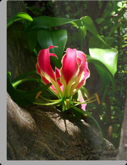 Gloriosa Lily by simonescott