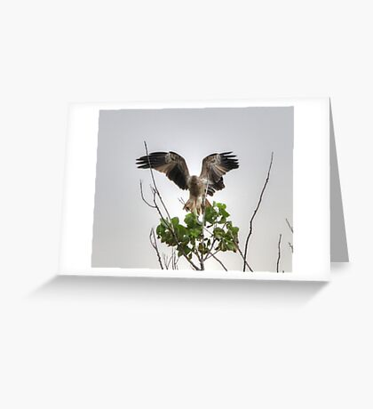 Whistling Kite Greeting Card