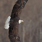 American Bald Eagle by Rob Lavoie