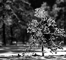 12.1.2013: Tree, Frost and Sunlight by Petri Volanen