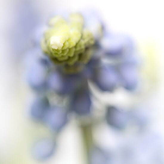 Grape Hyacinth III (abstraction) by Bob Daalder