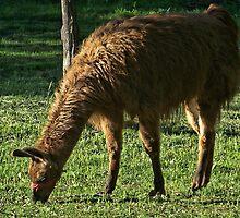 Alpaca by James Brotherton