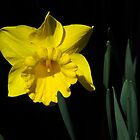 The Daffodil by Paul Gitto