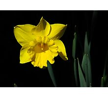 The Daffodil Photographic Print
