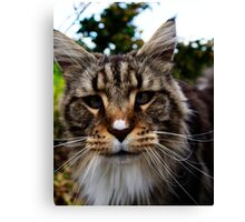 Maine Coon Cat Canvas Print