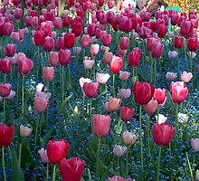 Tulips - Monet's Garden, Giverny, France by DMRPhotos