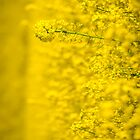 Mellow yellow by BenRobsonHull
