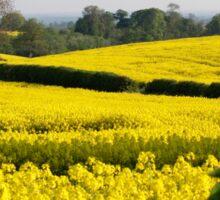 Fields of Yellow (2) Sticker