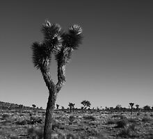 Joshua Tree V by davidalf