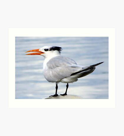 Royal Tern at Cedar Key Art Print