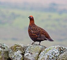 Red Grouse #2 by Jamie  Green
