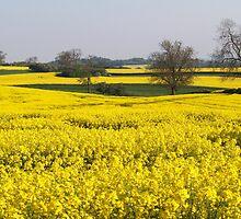 Fields of Yellow by Rachel Down