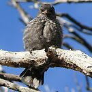 Cheeky Babe: Stokes Inlet National Park, Western Australia by linfranca