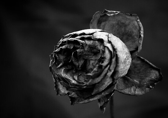 Winter Rose by Andrew Pounder