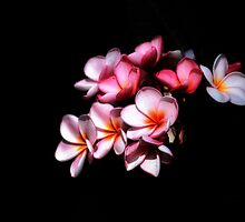 Pink Frangipani Flowers-3235 by Barbara Harris