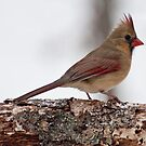 Female Cardinal in the Snow by barnsis