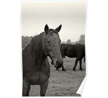 Equine portrait Poster