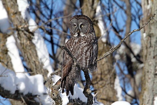 Great Grey Owl  by Gary Fairhead