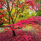 Japanese maple, Westonbirt Arboretum, Gloucestershire, UK by Andrew Harker