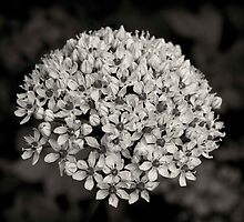 Buddleia by seanusmaximus