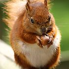 red squirrel by brett watson