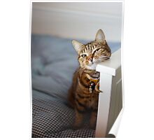 Feline attention II Poster