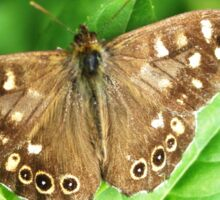 Speckled Wood Butterfly Sticker