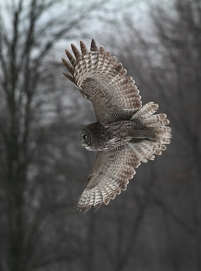 A-Head Of The Curve / Great Grey Owl by Gary Fairhead
