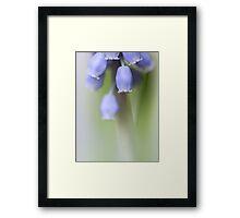 Grape Hyacinth IV Framed Print