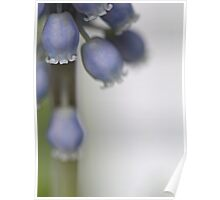 Grape Hyacinth V Poster