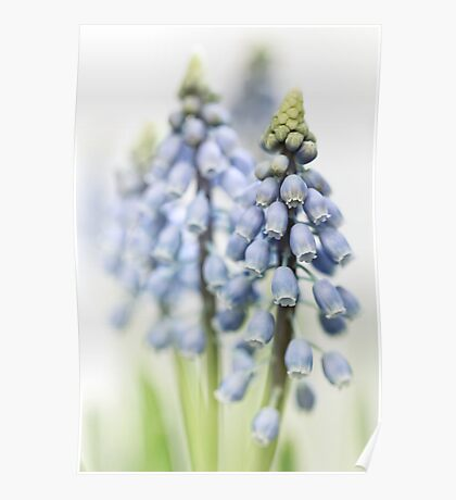 Grape Hyacinth VI Poster