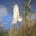 Barn Owl, also known as Common Barn Owl in flight by Maria Gaellman