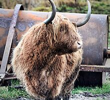 Highland Cow by Chris Cardwell