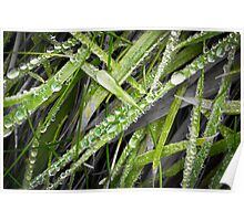 Dewdrops on grass Poster