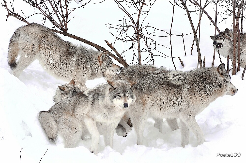 Wolfgang (Timber wolves) by Poete100