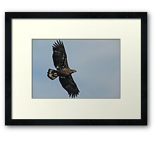 Young Eagle in Flight Framed Print
