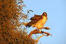 Red-tailed Hawk at Sunset by Kimberly Chadwick