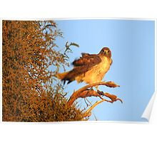 Red-tailed Hawk at Sunset Poster