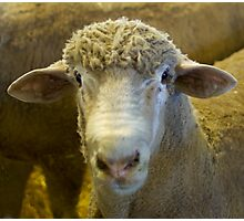 sheeps head Photographic Print