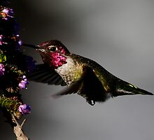 Thirsty Hummer by fototaker