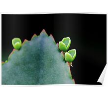 New shoots from succulent plant's leaf Poster
