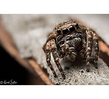 (Servaea vestita) Jumping Spider #6 Photographic Print