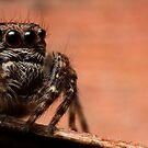 (Servaea vestita) Jumping Spider #7 by Kerrod Sulter