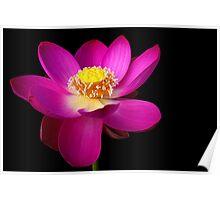 The Pink Lotus Poster