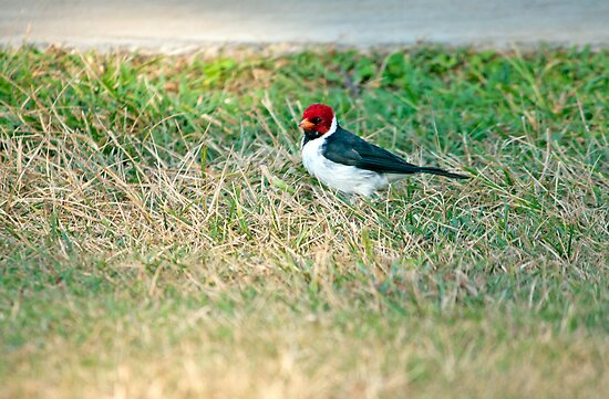 Yellow Billed Cardinal by jayneeldred