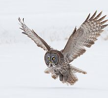 Great Gray Owl. by Daniel Cadieux