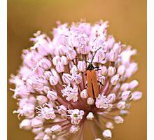 Lycid Beetle on Leek Photographic Print