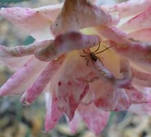 Spider in a Rose. by CandyBond