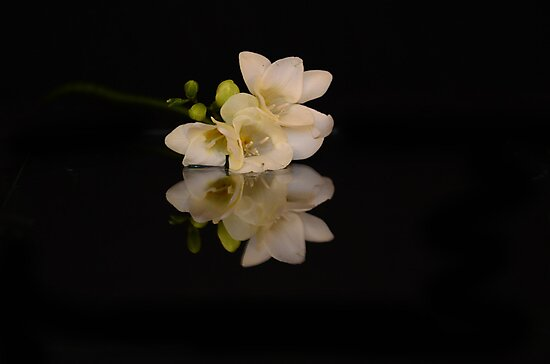 flower reflections III - fresia by Nicole W.